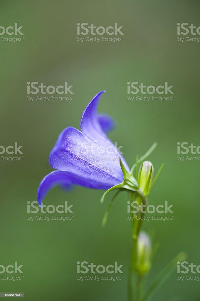 Mountain Harebell, Campanula Rotundifolia royalty-free stock photo