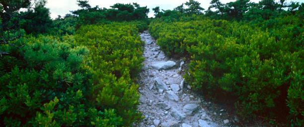 Mountain Huckleberry Path stock photo