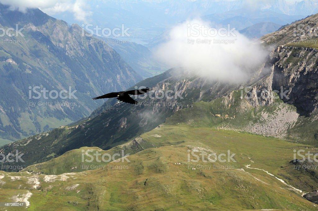 mountain jackdaw stock photo