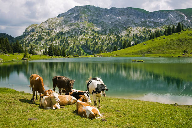 Mountain Lake and Cows stock photo