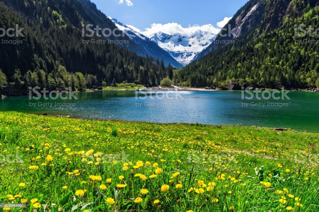 Mountain lake with bright yellow flowers in foreground. Stillup lake, Austria, Tirol royalty-free stock photo