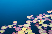 Water lilies in a small lake.