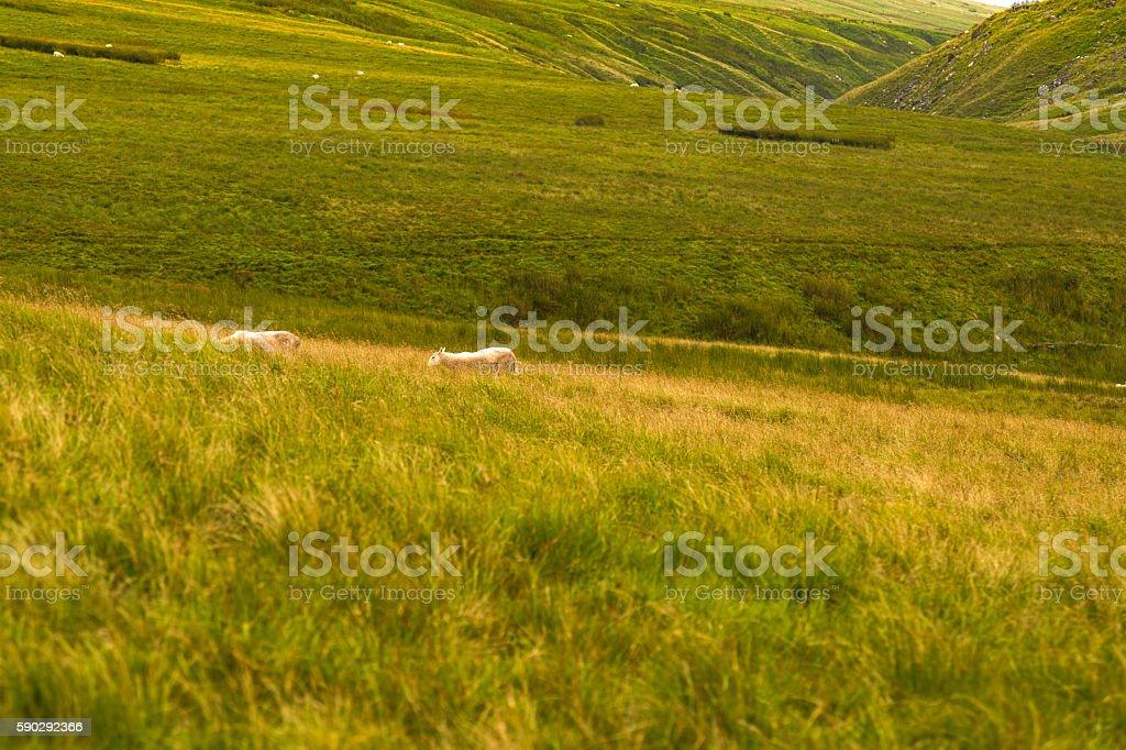 Mountain Landscape with Sheeps, Brecon Beacons, South Wales, UK Стоковые фото Стоковая фотография