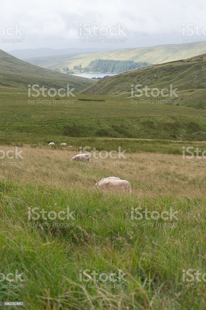 Mountain Landscape with Sheeps, Brecon Beacons, South Wales, UK royaltyfri bildbanksbilder