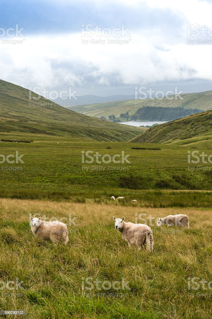 Mountain Landscape with Sheeps, Brecon Beacons, South Wales, UK stock photo