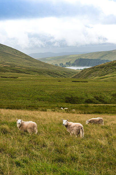 Mountain Landscape with Sheeps, Brecon Beacons, South Wales, UK Mountain Landscape with Sheeps, Storey Arms, Brecon Beacons, South Wales, UKMountain Landscape with Sheeps, Storey Arms, Brecon Beacons, South Wales, UK brecon beacons stock pictures, royalty-free photos & images