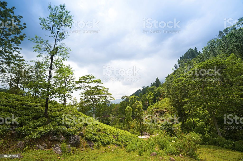 Mountain landscape with tea plantations royalty-free stock photo
