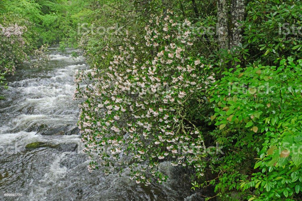Mountain Laurel Along a Raging Noland Creek stock photo