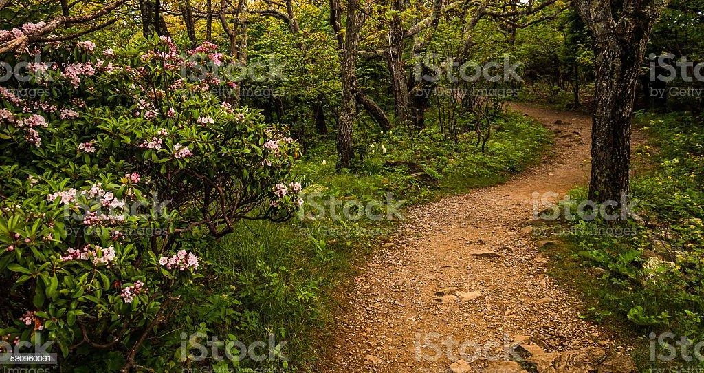 Mountain laurel along a trail in Shenandoah National Park, Virgi stock photo