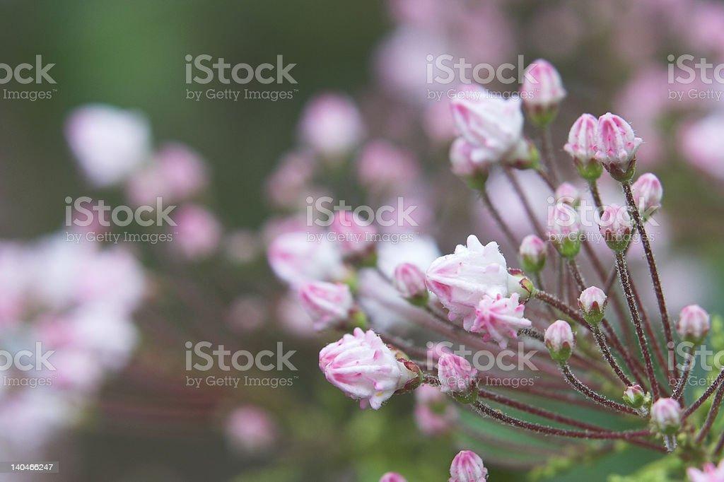 Mountain Laurel Buds royalty-free stock photo