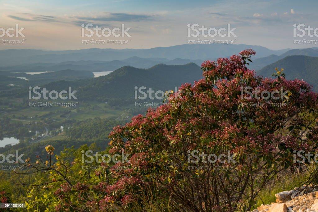 Mountain Laurel Bush stock photo
