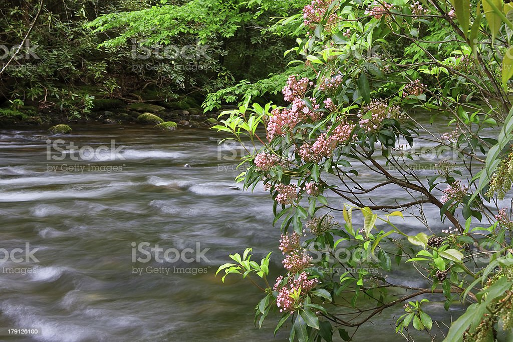 Mountain Laurel by a Stream stock photo