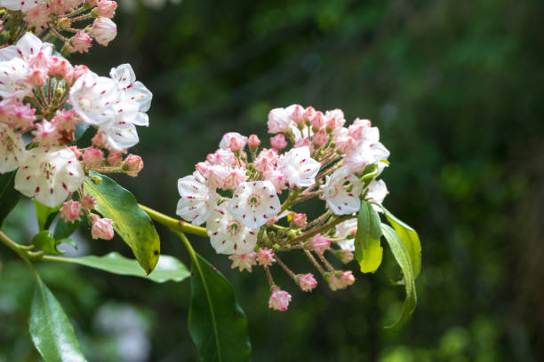 Mountain laurel flowers in bloom stock photo
