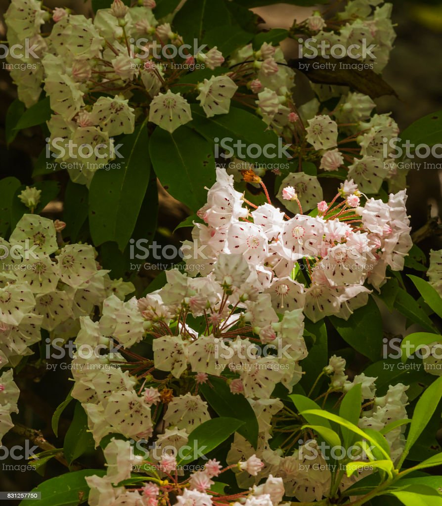 Mountain Laurel, Great Smoky Mtns stock photo