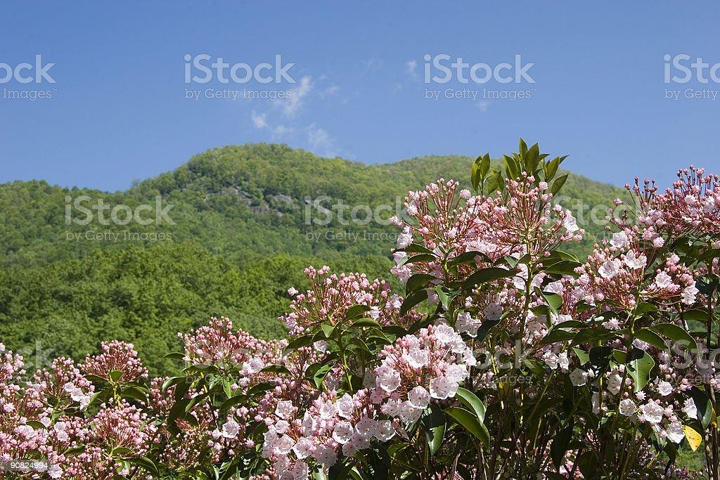 Mountain Laurel in Full Bloom royalty-free stock photo