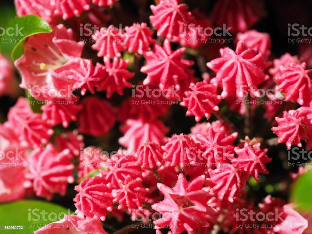 Mountain laurel or Kalmia latifolia, pink flowers and buds blooming closeup macro stock photo
