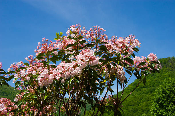 Mountain Laurel stock photo