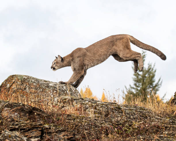 Mountain Lion adult in Fall colors stock photo