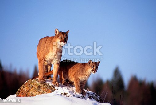 A female Mountain Lion and her cub watch from a rock outcropping in a snow covered landscape in Montana.