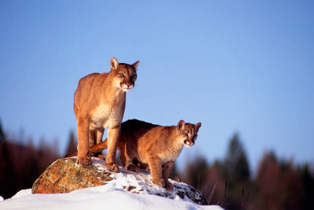 Mountain Lion and Cub stock photo