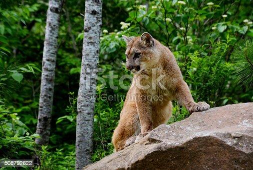 mountain lion, cougar