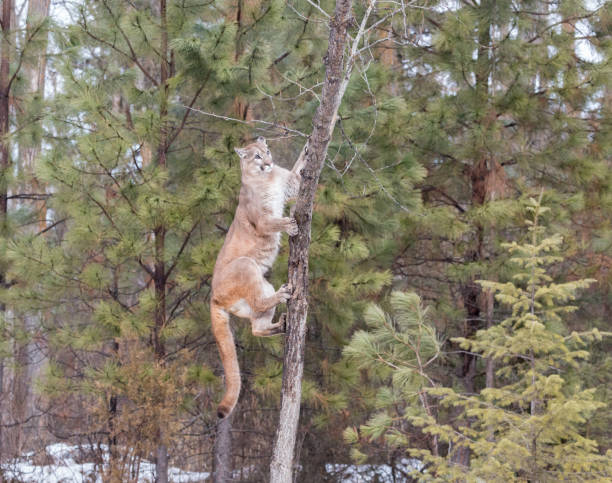 Mountain Lion Climbing Tree in Pine Forest stock photo