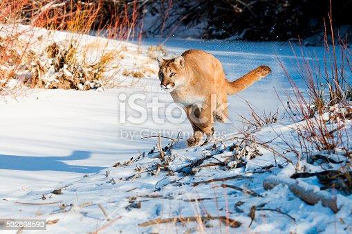 Mountain Lion running in fresh snow