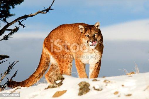 Mountain lion in snow
