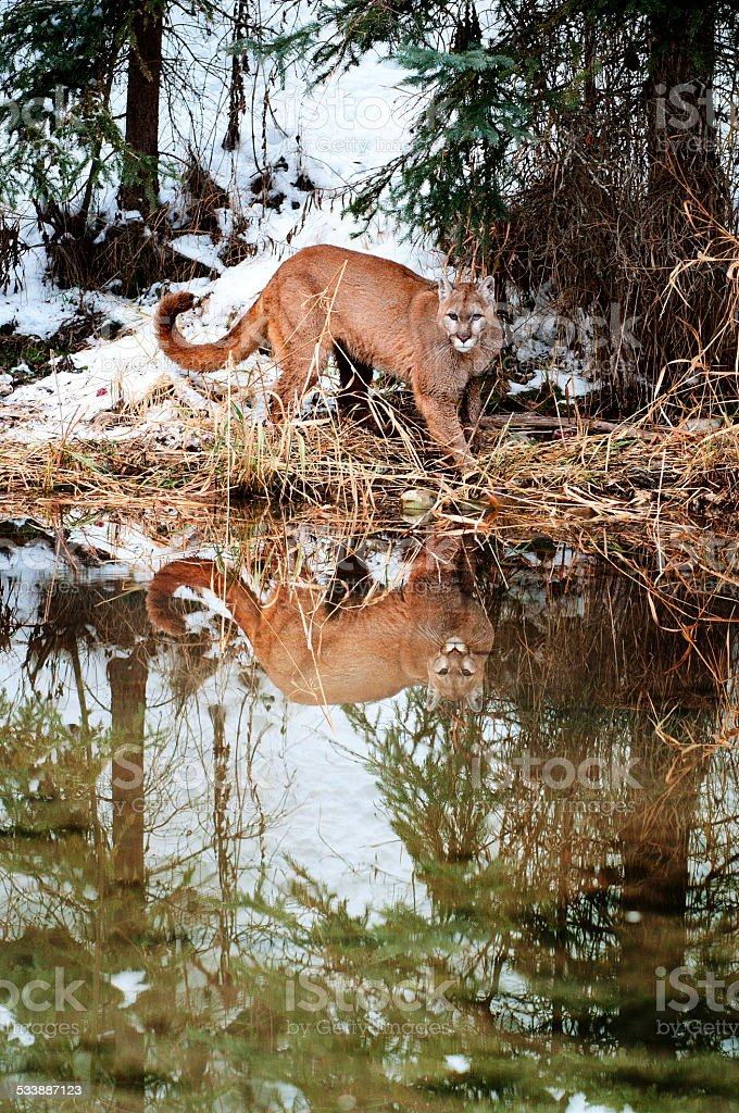 Mountain Lion in Winter stock photo