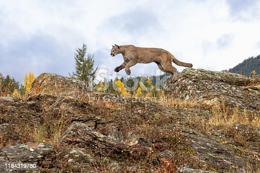 A captive Mountain Lion jumping between to large rocks. A game farm in Montana, with animals in natural autumn settings.