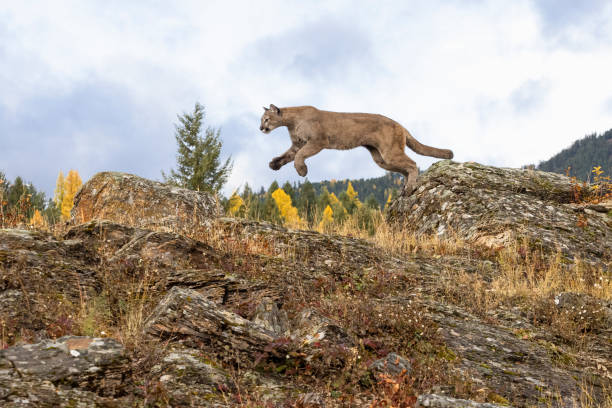 Mountain Lion Jumping in Natural Autumn Setting Captive stock photo