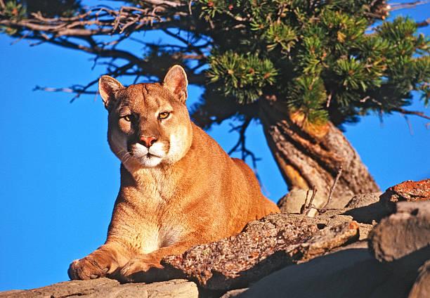 Mountain Lion On Rocky Ledge stock photo