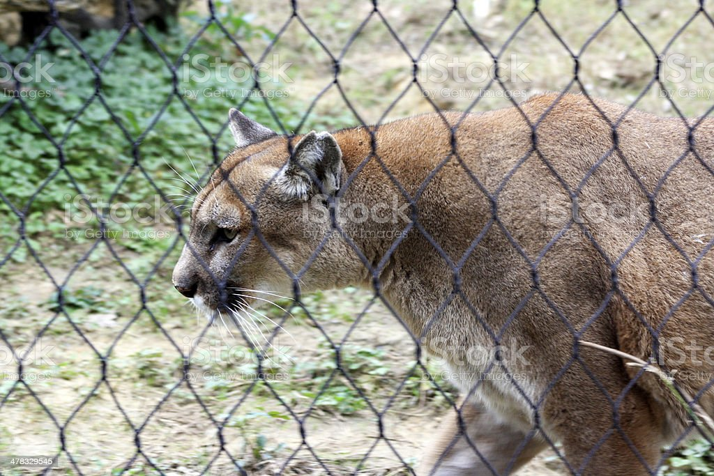 Mountain Lion Pacing at Zoo royalty-free stock photo
