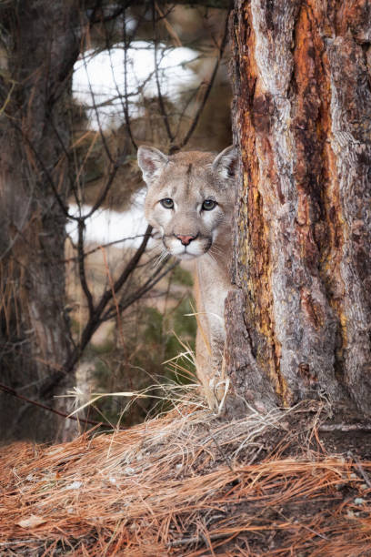 Mountain Lion Peering Out From Behind Tree Close-up stock photo