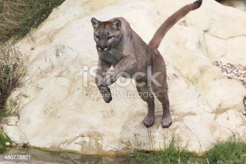 A mountain lion or cougar