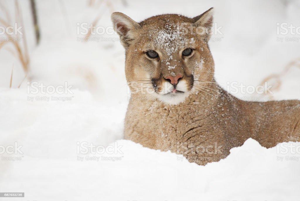 Mountain Lion foto de stock libre de derechos