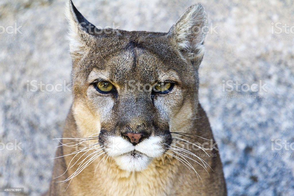 Mountain Lion portrait stock photo