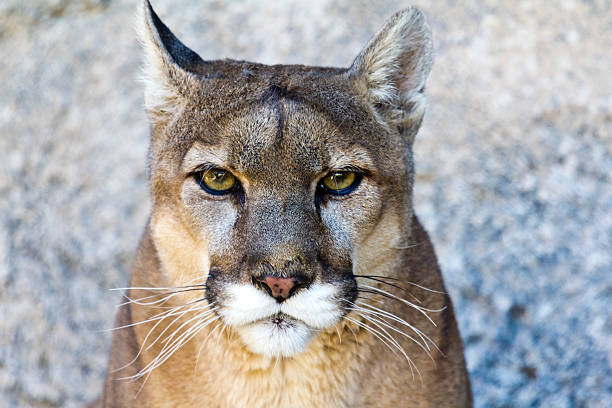 mountain lion porträt - schwarzer puma stock-fotos und bilder