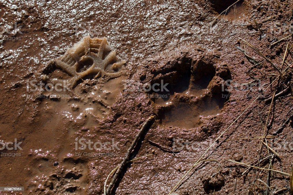 Mountain Lion Print stock photo