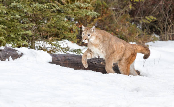 Mountain Lion Running Over Snow and Fallen Log stock photo