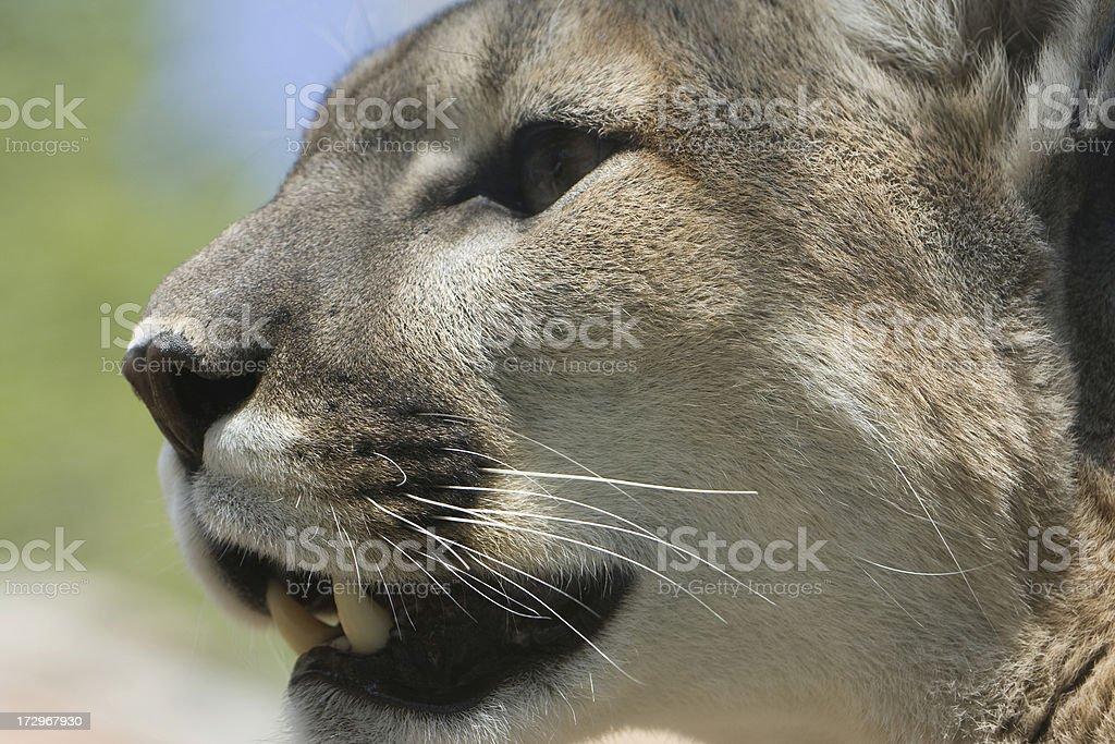 Mountain Lion Side Profile stock photo