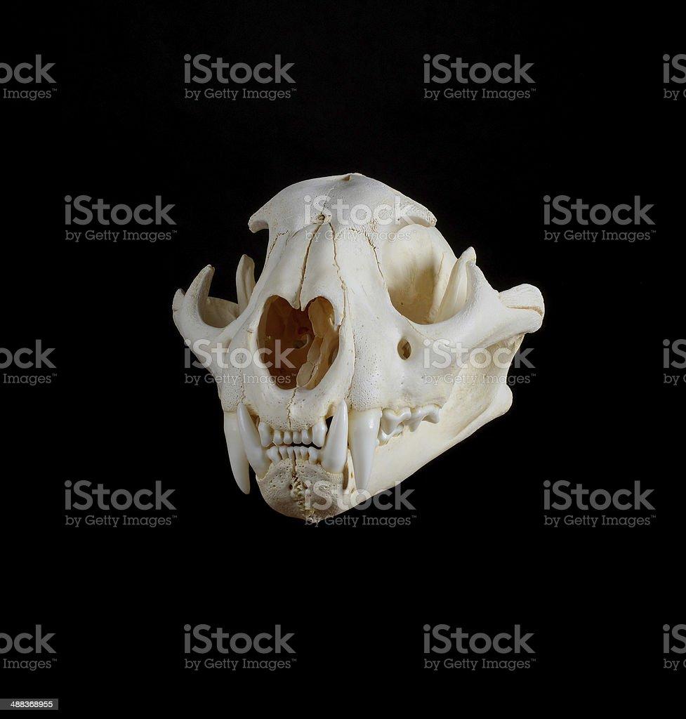 Mountain Lion Skull. stock photo