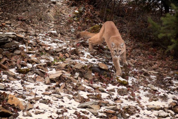 Mountain Lion Slinking Down a Snowy Rocky Hill Path stock photo