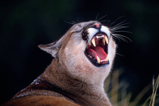 Mountain Lion Snarling stock photo