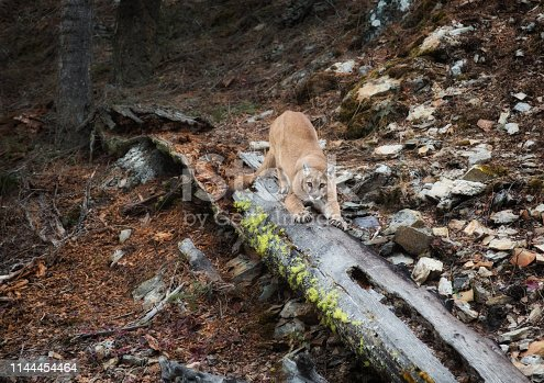 A mountain lion is stretching out with claws exposed gripping a fallen log with moss on it, and looking towards the camera.