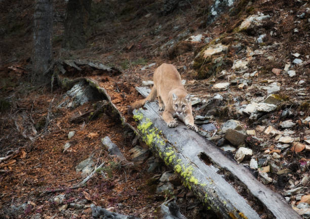 Mountain Lion Stretching with Claws Out and Looking stock photo