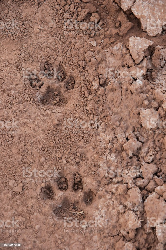 mountain lion track utah stock photo more pictures of animal body