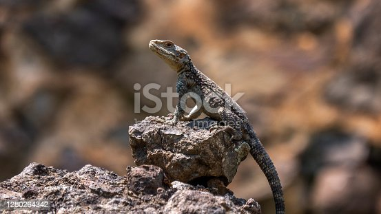 Close-up of a lizard in the wild.