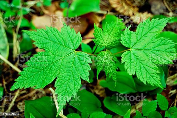 Photo of Mountain maple sapling