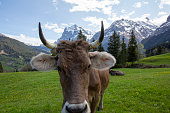 Close up view of cow looking at camera